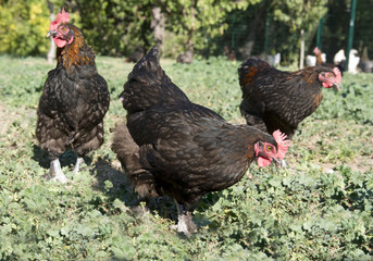 Fotobehang Kip marans chicken in garden