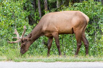 Elk  (Cervus canadensis) .
