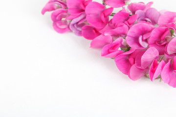Magenta sweet peas isolated on white background