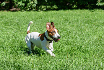 Pet dog with funny ears running on green grass lawn