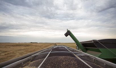 Top of truck trailer loaded with canola seed at harvest on a field in rural saskatchewan landscape