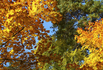 Treetops in autumn for background.Autunno Herbst Otoño Syksy Efterår Automne Autumn Jesen Haust Ősz Herfst Höst Jesień