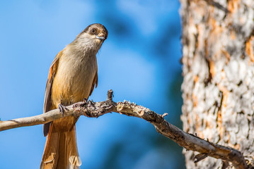 Curious Siberian jay bird sitting and watching on tree branch