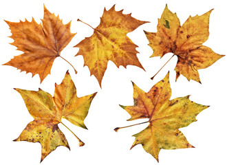 Dry Maple Leaves Isolated On White Background