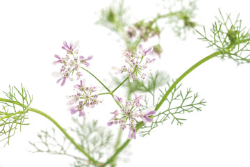 Macro phito of coriander flower