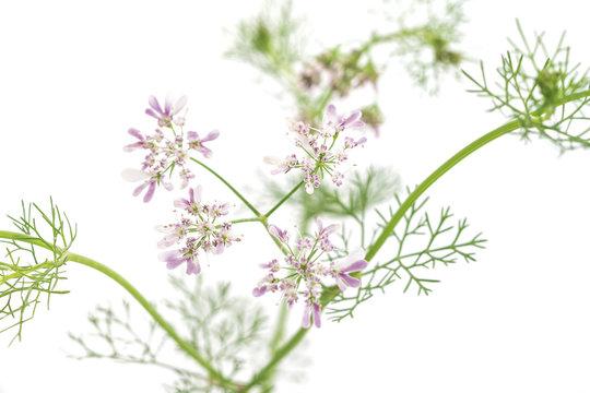 Macro phito of coriander flower
