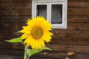 sunflowers near the house