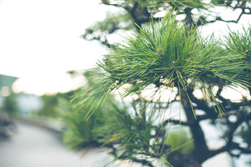 Japanese pine tree shallow depth of field vintage color tone.