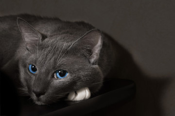 gray cat with beautiful blue eyes