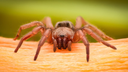 Extreme magnification - Brown spider on a branch