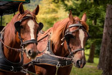 Farm Horses in nature