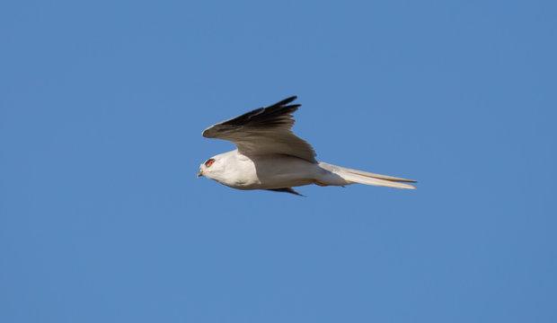 White-tailed Kite - Elanus leucurus, Adult. Hayward, California, USA