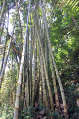 Bamboo growing in Bali