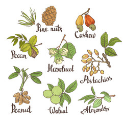 Vector set of hand sketched nuts on white background with leaves  in hand drawn style: hazelnut, almonds, peanuts, walnut, cashew, pine nut, pistachios, pecan. Botanical vector illustration.