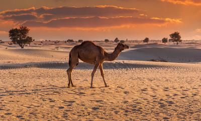 Camel in the desert at sunset