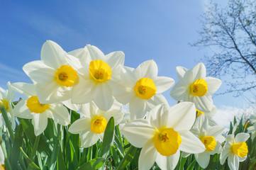 Photo sur Aluminium daffodils on nice sunny background