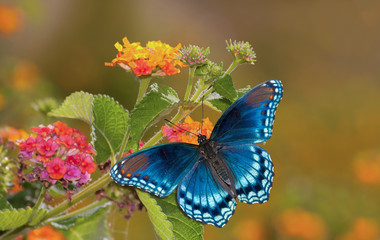 Beautiful Red Spotted Purple Admiral buterfly on colorful Lantana flower in sunshine