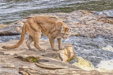 Cougar by Minnesota river,photo art