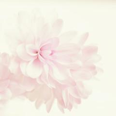 Purple chrysanthemum flower background. Pastel tones.