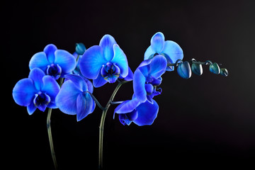 Blue orchid flower on black  background