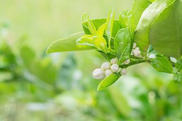 Flower of lemon tree branch