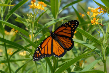 male monarch butterfly, with wings spread, on yellow tropical milkweed plants
