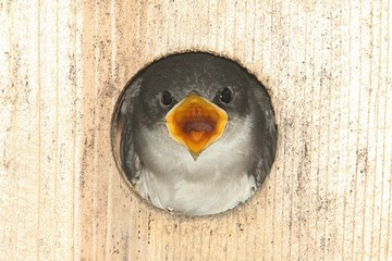 Fotoväggar - Baby Tree Swallow In a Bird House