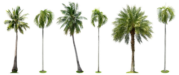 Foto op Canvas Palm boom Palm trees isolated collection on white background