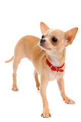 Chihuahua puppy in a red collar