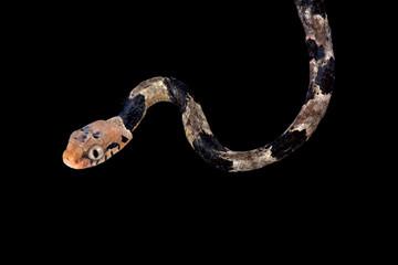 Wall Mural - Blandings tree snake,Toxicodryas blandingii ,