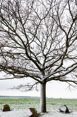Old bare oak tree in the winter time, leafless plant in cold season time
