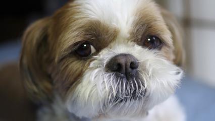 シーズー犬の顔アップ
