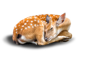little chital or cheetal deer (Axis axis),is sleeping in white b