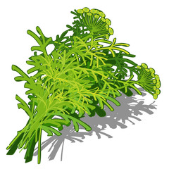 Bunch of dill on white background, food concept