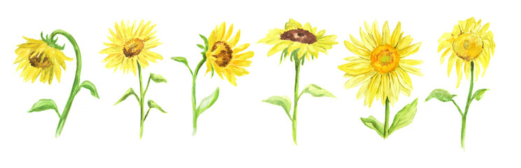 Watercolor sunflower set on white background. Summer flower. Beautiful garden illustration.