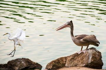 Beautiful brown pelican