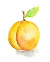 Isolated watercolor apricot on white background. Soft and sweet fruit.