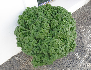 Photos illustrations et vid os de plante en pot - Arrosage basilic en pot ...