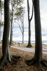 tall beech trees at the seaside, vertical