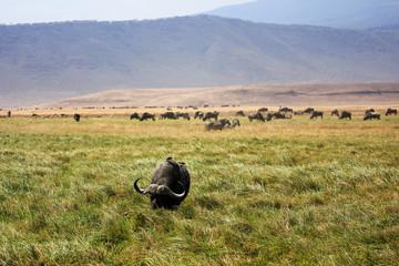 Buffles en train de paître dans le cratère du Ngorongoro