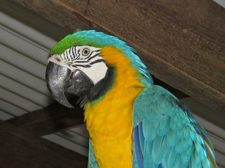 Blue-and-yellow macaw under metal roof