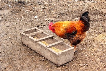 Cock feeding
