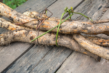 wild yam tied with vine on old wooden table