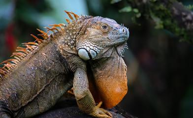 Prachtvoller Leguan in Costa Rica