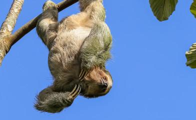 An einem Ast hängendes Faultier in Costa Rica
