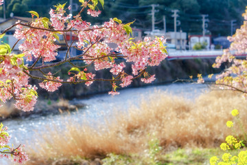 Kawazu-zakura Cherry Blossom