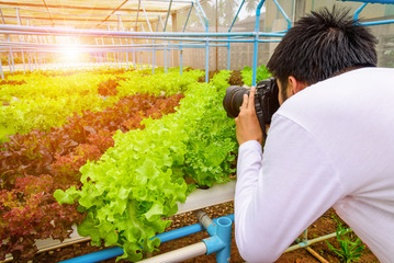 Photography taking photo at green hydroponic organic salad vegetable