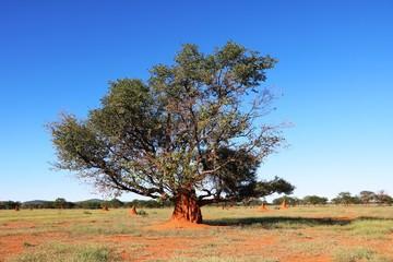 Printed kitchen splashbacks Australia Red termite hill in tree in Namibia, Africa