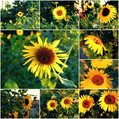 Sunflowers blooming in park collage of summertime photos