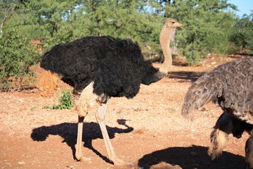 Male ostrich in Namibia, Africa